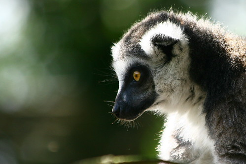 Ring-tailed lemur | by Réjôme