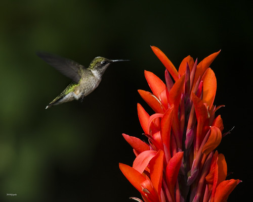 Hummingbird feeding on Red Canna Mississauga Ontario Canada | by gashphoto