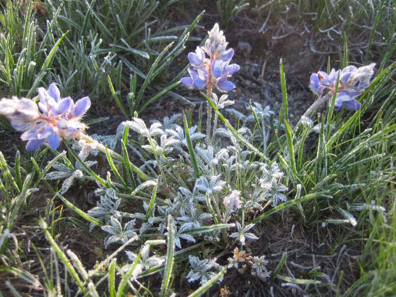 Frosted Lupine Flowers