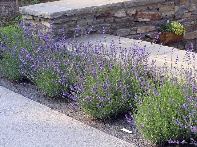 lavandula angustifolia 39 hidcote 39 habit klr flickr. Black Bedroom Furniture Sets. Home Design Ideas
