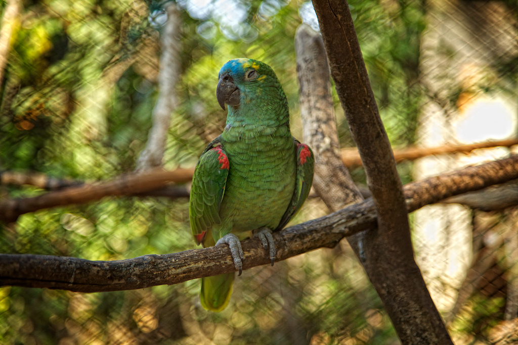 R G Parrott Ltd Brazilian Parrot   Nic...