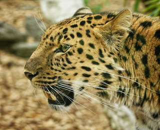 Amur Leopard at Colchester Zoo | by Ken M Johnson