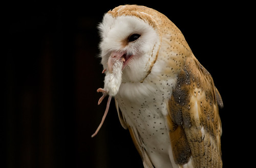Barn owl eating a small white mouse not a bad for Food bar owl