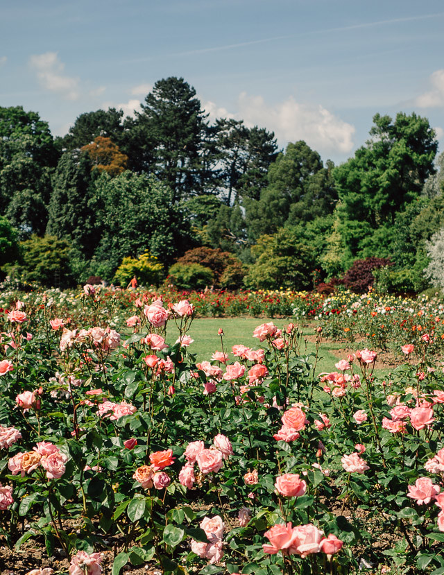 rose gardens at roath park