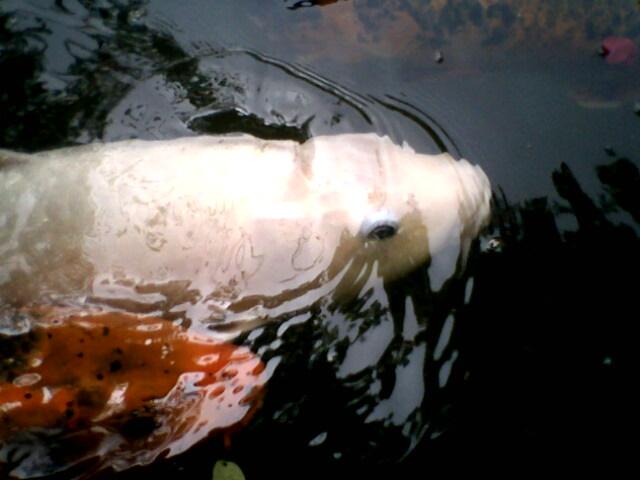 Carpas koi acuario zool gico de cali en el acuario de for Comida para carpas koi