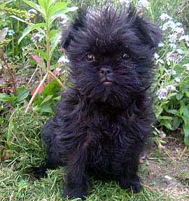 Affenpinscher Puppy Mhairi Brown Flickr