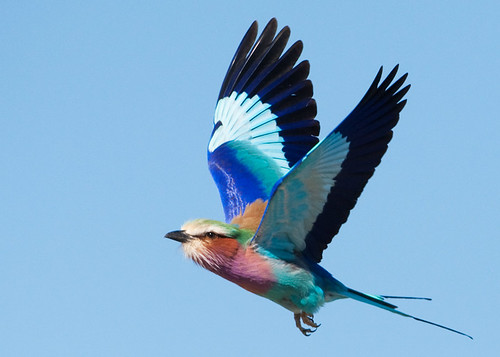 lilac-breasted roller flies | by michaelrosenbaum
