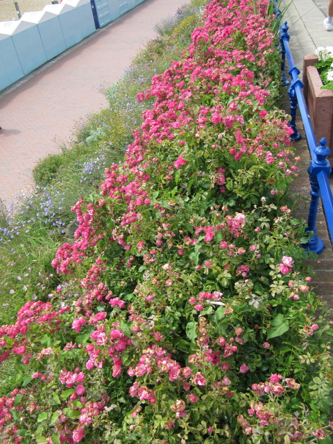 Roses In Garden: These Lovely Ground Cover Roses Were Growing