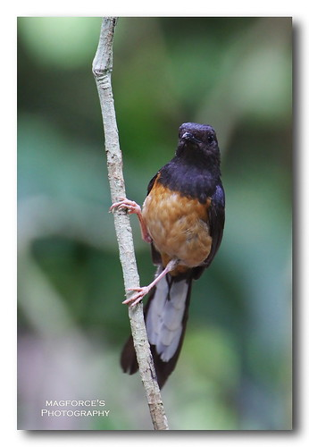 White- Rumped Shama | by magforce
