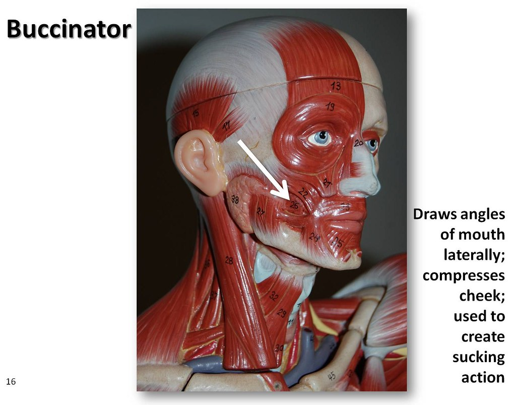 Buccinator - Muscles of the Upper Extremity Visual Atlas ...