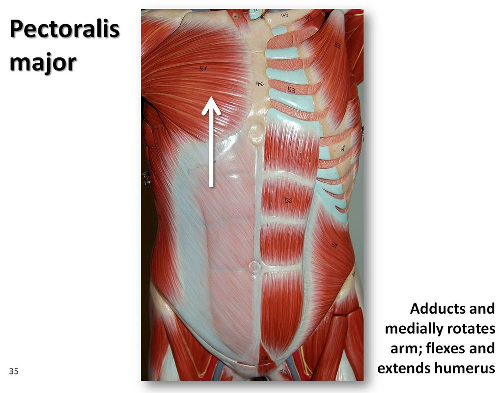 Pectoralis major - Muscles of the Upper Extremity Visual A… | Flickr