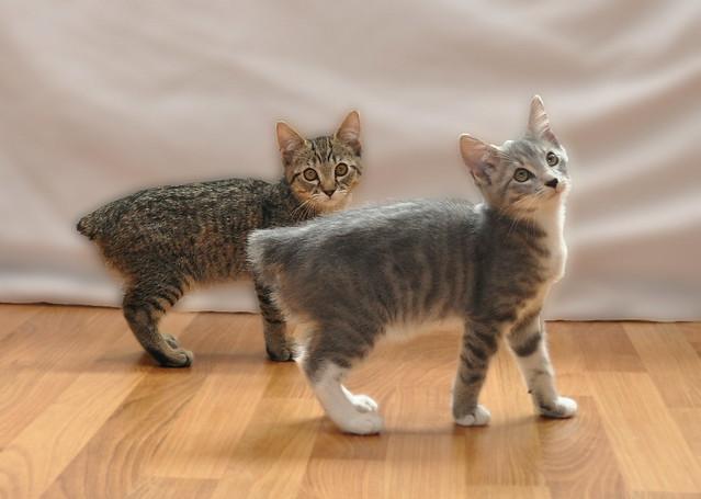 My Manx Kittens | Flic...