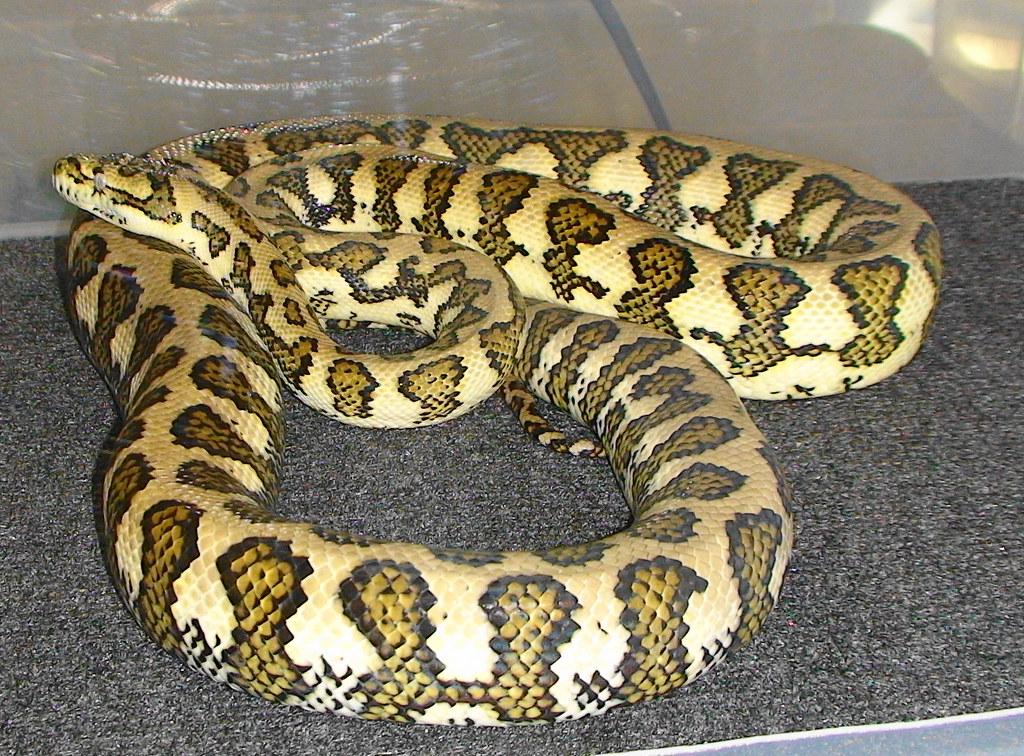 Darwin Carpet Python Possibly Het For Albino I M