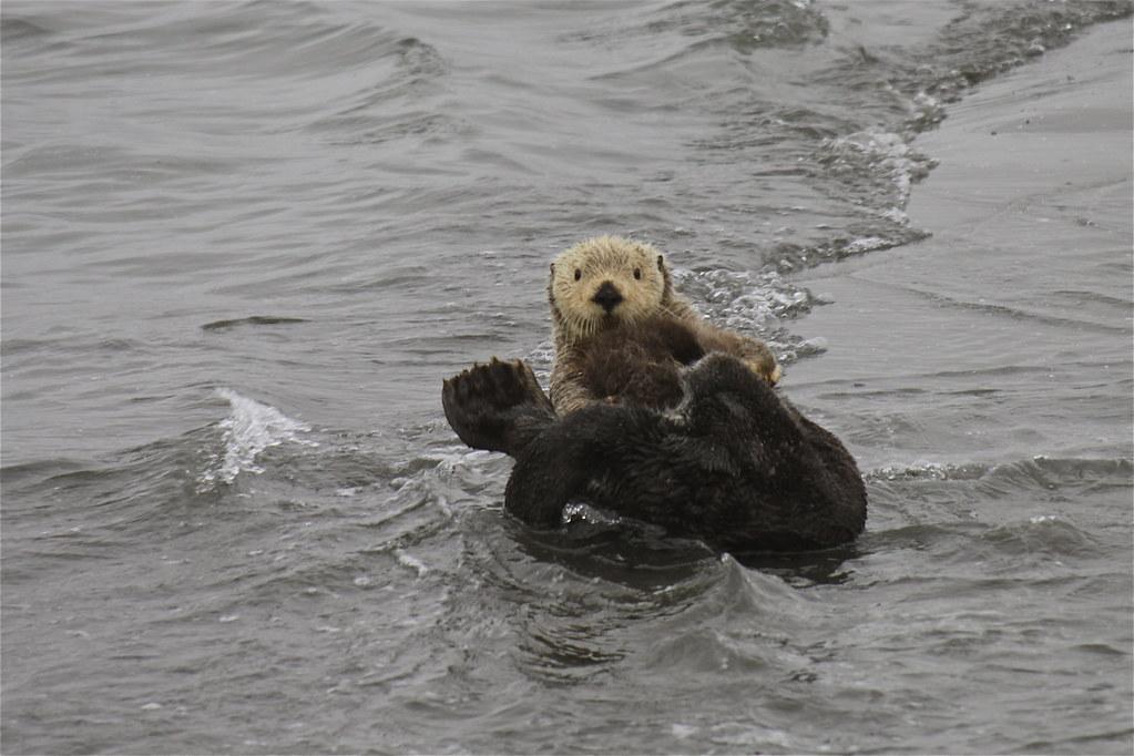 Alaska zomer 2010 zeeotters in de copper river delta de flickr - Zomer keuken steen ...