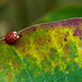 A ladybug (Coccinellidae)