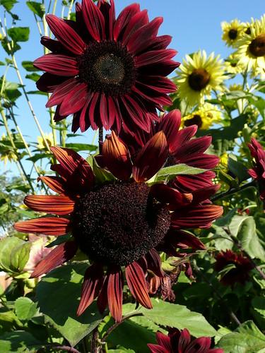 Sunflower 39 chocolate cherry 39 sunflower trial 2010 photo - Master gardeners santa clara county ...