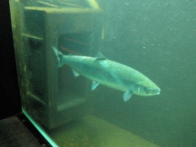 A salmon at the ballard locks fish ladder flickr photo for Ballard locks fish ladder
