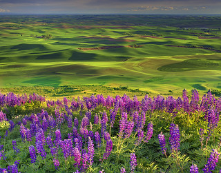 Lupine Spring In The Palouse | by kevin mcneal