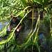 Repotting Grammatophyllum speciosum