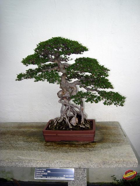 Bonsa penjing chinese elm ulmus parvifolia for Bd du jardin botanique