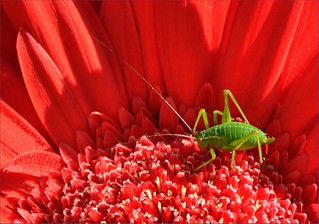 The little green Cricket having lunch | by Milly M.