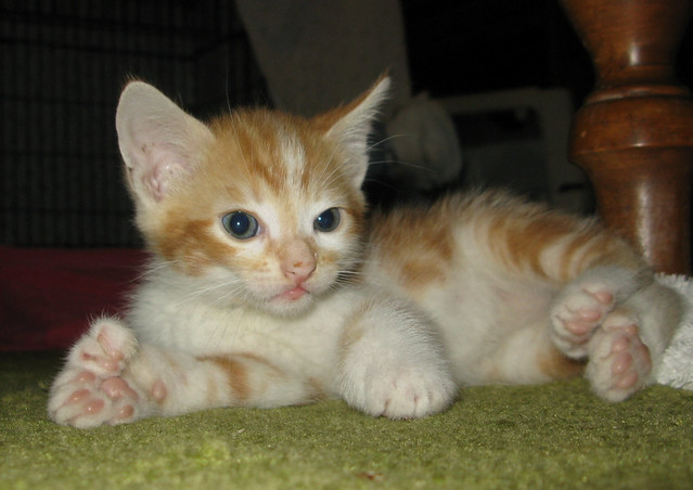 Recent Photos The Commons 20under20 Galleries World Map App Garden    Orange Polydactyl Cat