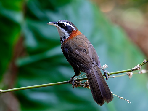 小彎嘴畫眉Streak-breasted Scimitar Babbler | by Afi Chen
