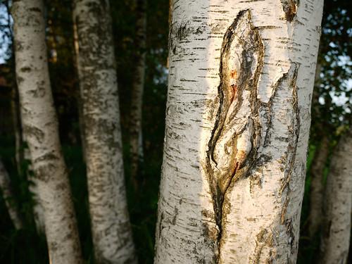 birch birches tree trees birke birken forest nature natur. Black Bedroom Furniture Sets. Home Design Ideas