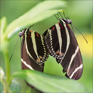 Zebra Longwings in Love | by Foto Martien