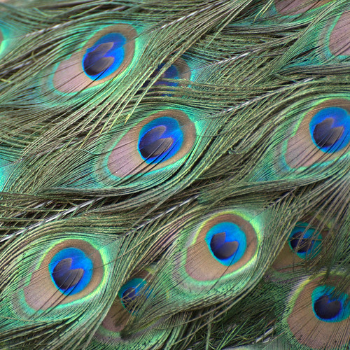 Peacock's eyes | by Teresa (be there...)