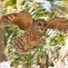 Barred Owl, Dinner Ranch Island