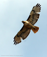 Hawk, Red-tailed  (Buteo jamaicensis)