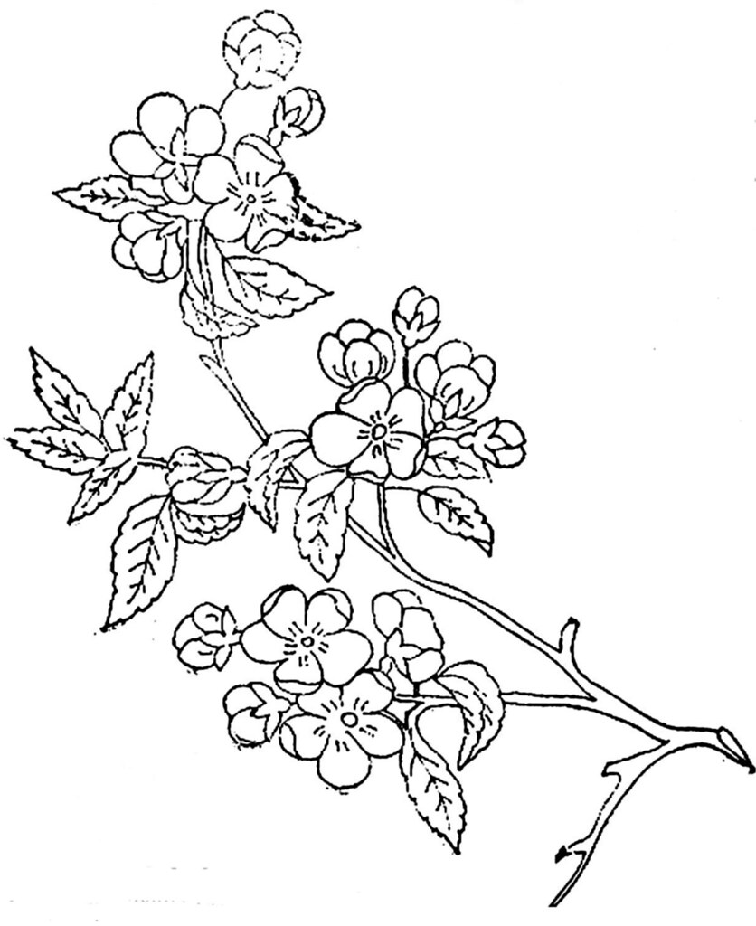 Blossom Flower Line Drawing : Apple blossom sketch images