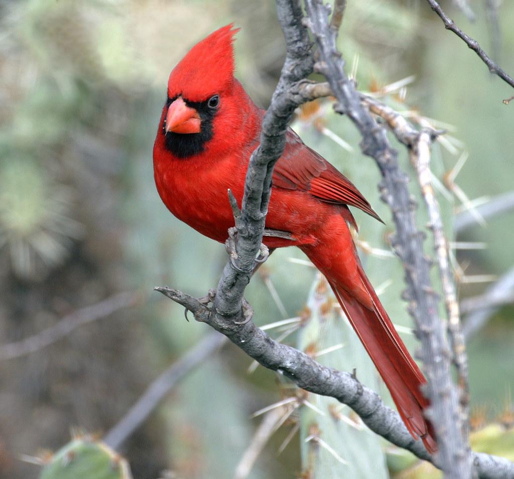 Northern Cardinal Cardinalis Cardinalis Oro Valley Az