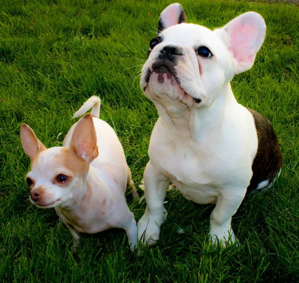 english bulldog chihuahua mix bronx the chihuahua and denali the french bulldog 970