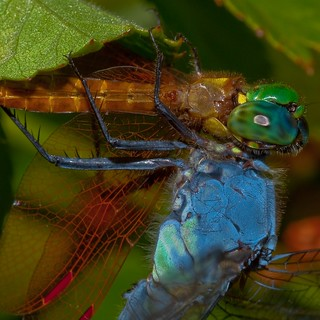 dragonfly eats dragonfly | by entomopixel