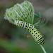 Black Swallowtail caterpillar