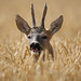 Roe Deer Buck in wheat