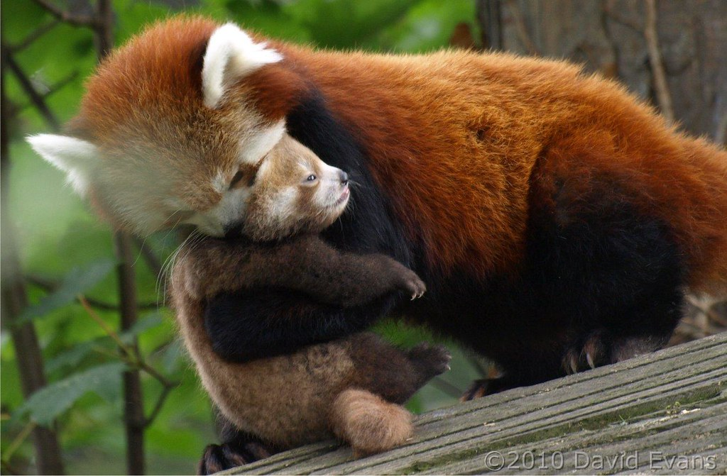 Chester Zoo Baby Red Panda Chester Zoo Baby Red Panda Flickr