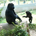Mamma Watches - Gorillas