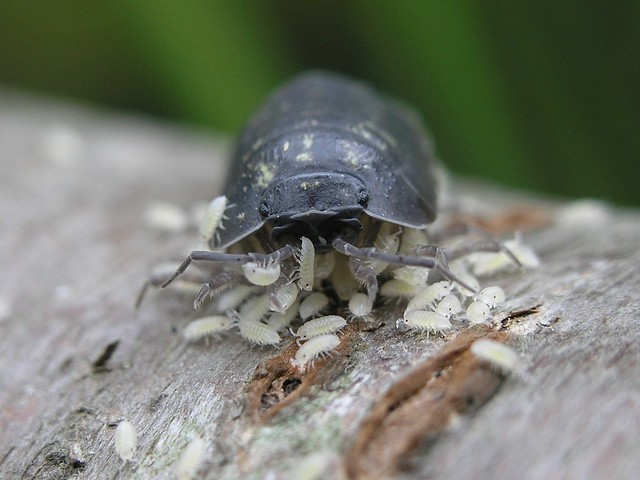Pill Woodlouse (Armadillidium vulgare) with Young
