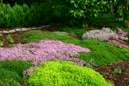 creeping thyme garden by gardentravels creeping thyme garden by gardentravels - Thyme Garden