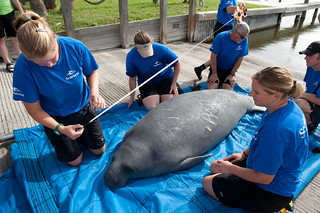 SeaWorld Orlando's animal rescue team takes measurements before returning a manatee to the wild | by SeaWorldParks