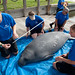 SeaWorld Orlando's animal rescue team takes measurements before returning a manatee to the wild