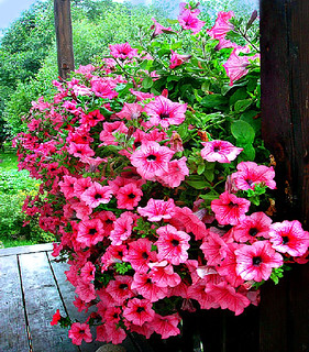 Pink Petunias | by The Haymaker