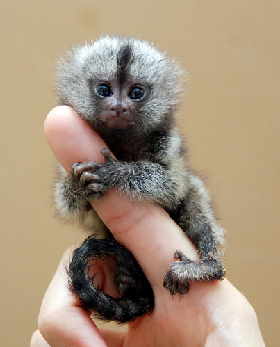 Marmoset monkey | by floridapfe