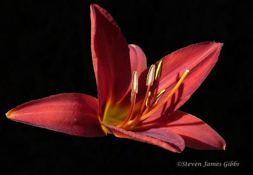 Hemerocallis | by Steven J Gibbs