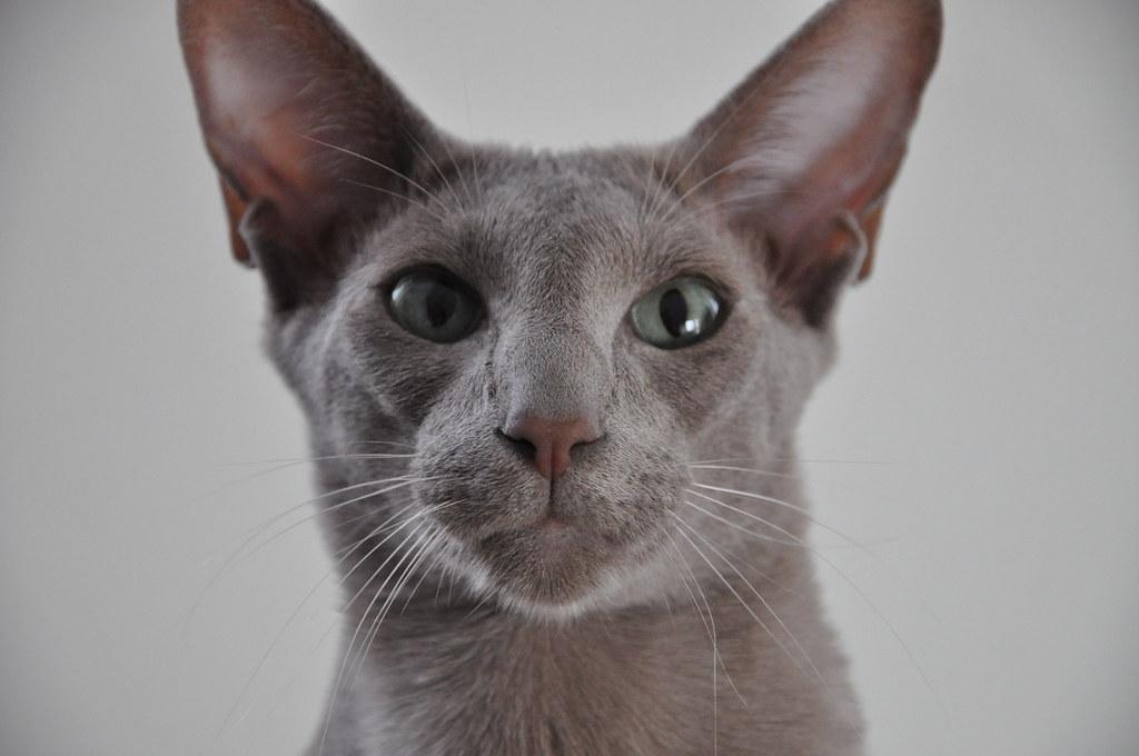 Joris Oriental Shorthair Cat 3 Name Joris Oriental