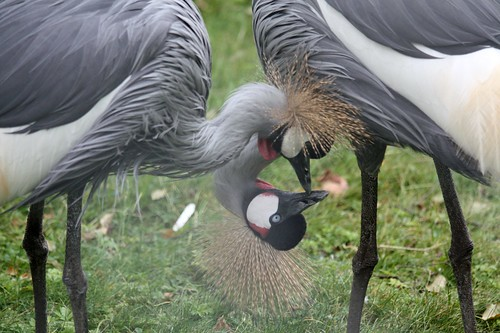 Crowned Cranes | by barry 13092