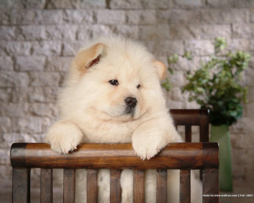 Cau cau puppy